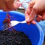 Holunderbeersirup - Anleitung - Beeren abstreifen - ganz nah